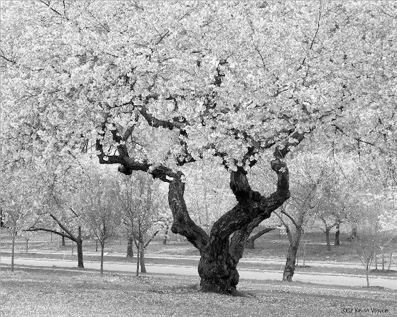 Cherry Blossom Tree 8x10 black and white photo print
