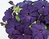 10 Dwarf Petunia Plants Sun Devil Mambo Blue