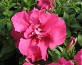 10 Double Petunia Plants Madness Rose