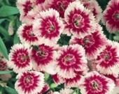 10 Floral Lace Picotee  Dianthus