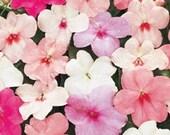 10 Impatiens Plants Pastel Mix