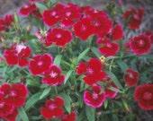 10 Floral Lace Crimson Dianthus