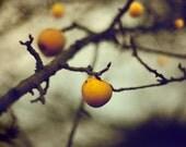 Golden Apples - 10x8 Inch Fine Art Photograph Signed