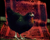Fancy Black Hen on Persian Rug - 8x8 inch Art Photograph Signed Soft faded colors