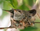 Hummingbird Nest-8 by 10 Fine Art Print