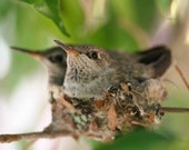 Hummingbird Nest- fine art print-greeting cards