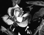 Rose - An original scratchboard drawing by Sandra Willard