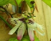 Edible Passionfruit, Passiflora edulis