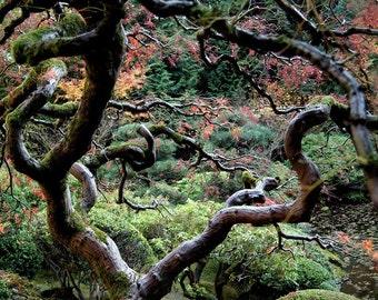 Fine art print of a November Japanese Maple at Portland Japanese Garden