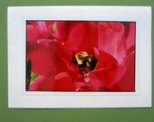 Pollination Photography card- Beautiful Red Rose with Bumblebee