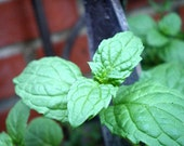 Organic Peppermint Plant