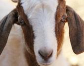 goat, 5x7 metallic photograph