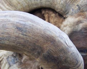 Horn of Ram Upclose (Heifer Project/Overlook Farm).