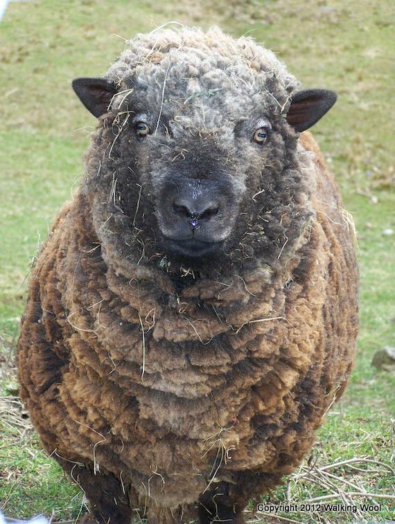 Rollie the Olde English Babydoll Southdown Ram. Maine sheep fiber fleece wool farm animal country photograph