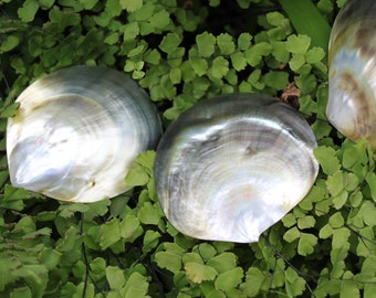 3 to 3.5  inch diameter blacklip mother of pearl shell natural cut, Tahitian costume supply. Pendant. Oyster shell