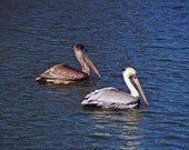Pelican twins going for a swim at the Norfolk gardens