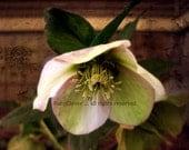 Hellebore Photo, Single Garden Flower, Old World Texture, Pink Green Brown, Macro Flower, Garden Art, Grunge Finish, 8x10, Fine Art Photo