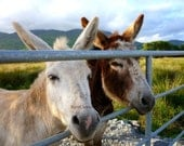 Irish Donkeys in Co. CORK, Ireland Photography, Gift for Animal Lovers, Two Fine Asses, IRISH Country Landscape, Ring of Beara, Nice ASS