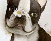 Pushing Up Daisies Boston Terrier Pop Up Card