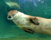 Slidel the Otter swimming and having fun 8x10 printed to Archival standards