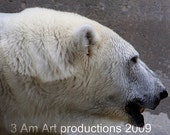 8x10 Polar Bear Archival photo of Kenda from the ecotarium worcester massachusetts