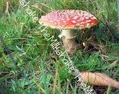 Amanita muscaria photo 5 x 7  FOR YayLut