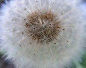 Float - 5x7 Nature Photography - Home Decor Photo - Dandelion Puff Botanical Print - IN STOCK