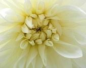 Hello Dolly White - 8x10 Fine Art Flower Photo - Dahlia - IN STOCK