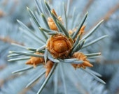 Prick - 8x10 Metallic Fine Art Nature Photograph - Abstract Evergreen Closeup - IN STOCK