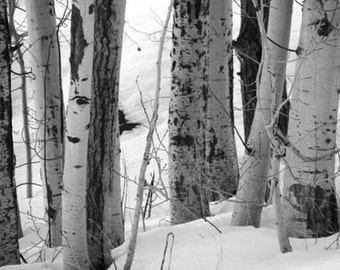 Crowd ACEO - 2.5 x 3.5 Black and White Photograph - Birch Trees in Winter Landscape - IN STOCK