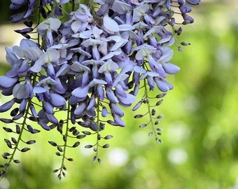 Dangle - 8x10 Flower Photograph - Wisteria Blossoms