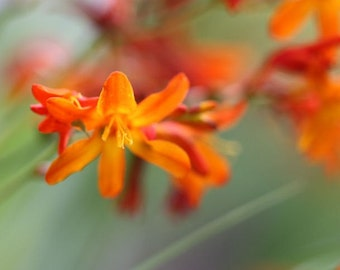 Curtsy - 8x10 Floral Photographic Print - Orange Crocosmia on Green