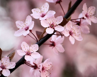 Joyful - 5x7 Flower Photograph - Pink Cherry Blossoms - Home Decor Photography - IN STOCK