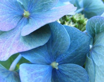 Tinge - 5x7 Flower Photograph - Blue Hydrangea Blossom - IN STOCK