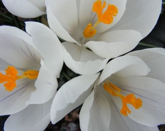 Sprung - 8x10 Floral Photography - Spring Flowers - White Crocuses with Gold Centers