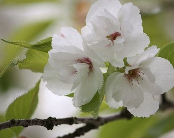 Someday - 8x10 Nature Photography - White Cherry Blossoms - Flower Picture