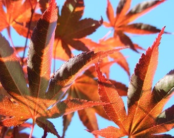 Photography - Shadow Dance - 8x10 Nature Photograph - Orange Maple Leaves on Blue