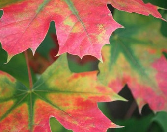 Splendor - 8x10 Nature Photography - Autumn Leaves in Red and Green