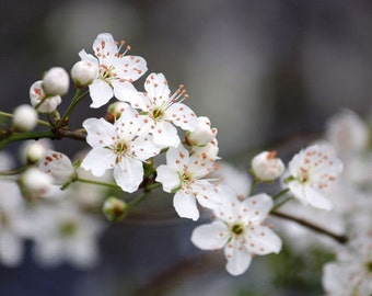 Hope - 8x10 Fine Art Nature Photography - Flower Picture - White Cherry Blossoms on Gray - IN STOCK