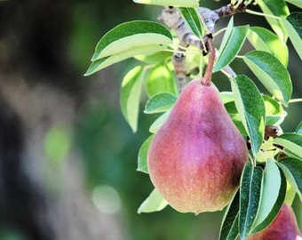Harvest - 8x10 Fruit Photograph - Red Pear Nature Photo - Kitchen Decor
