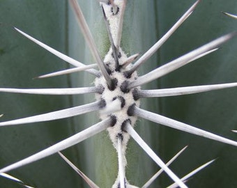 Spears - 8x10 Abstract Nature Photography - Macro of Cactus Needles - IN STOCK
