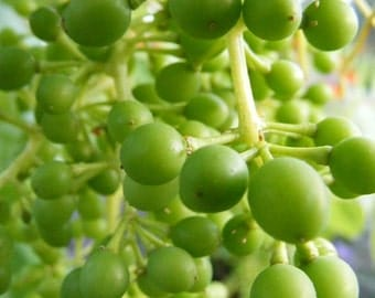 Green - 8x10 Abstract Art Photograph - Wine Grapes - Kitchen Art - IN STOCK