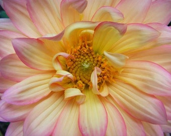 Edged - 8x10 Fine Art Flower Photograph - Dahlia Closeup