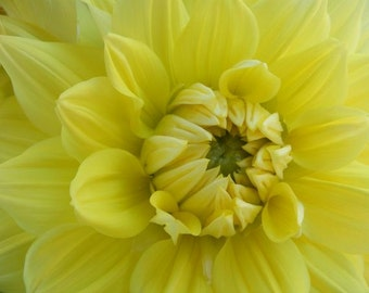 Hello Dolly Yellow - 8x10 Flower Photograph - Summer Dahlia Print