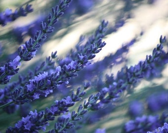 Impressionism - 8x10 Nature Photo - Lavender at Dusk - Abstract Floral Print in Purple - IN STOCK