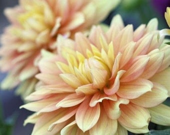 Photography - Murmurs - 8x10 Fine Art Floral Photograph - Pale Peach and Yellow Dahlias - IN STOCK