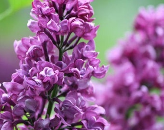 Photography - Beauty - 8x10 Nature Photograph - Purple Lilac Blossoms
