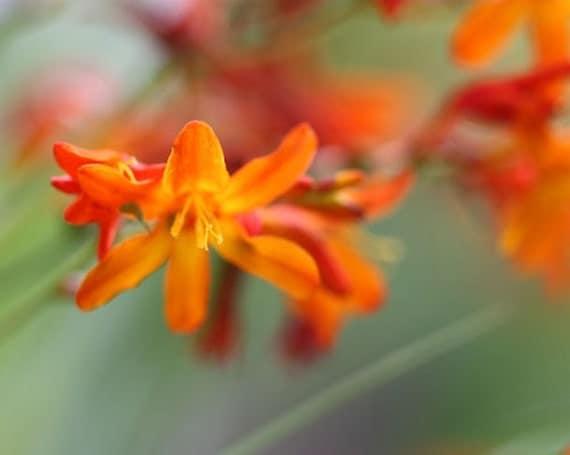 Curtsy - 8x10 Floral Photographic Print - Orange Crocosmia on Green