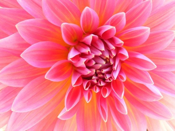 Hello Dolly Pink - 8x10 Flower Photograph - Honeysuckle Pink Dahlia Closeup - IN STOCK