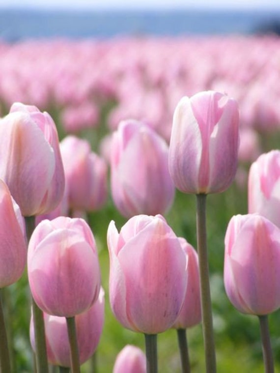 Tiptoe - 8x10 Floral Photograph - Pink Tulip Field - IN STOCK